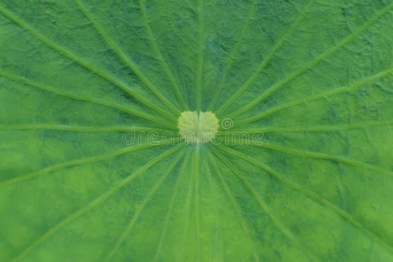 Groene het bladtextuur van de aardlotusbloem in detail als natuurlijke achtergrond stock foto