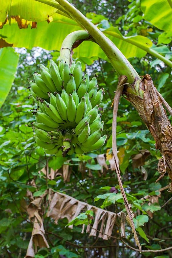 Groene het groeien bos van bananen op banaanaanplanting stock afbeelding