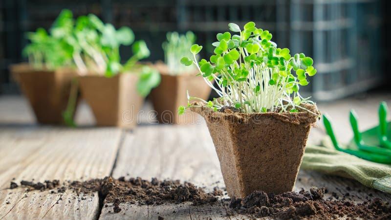 Groene het groeien zaailingen van tuininstallaties voor het planten royalty-vrije stock foto
