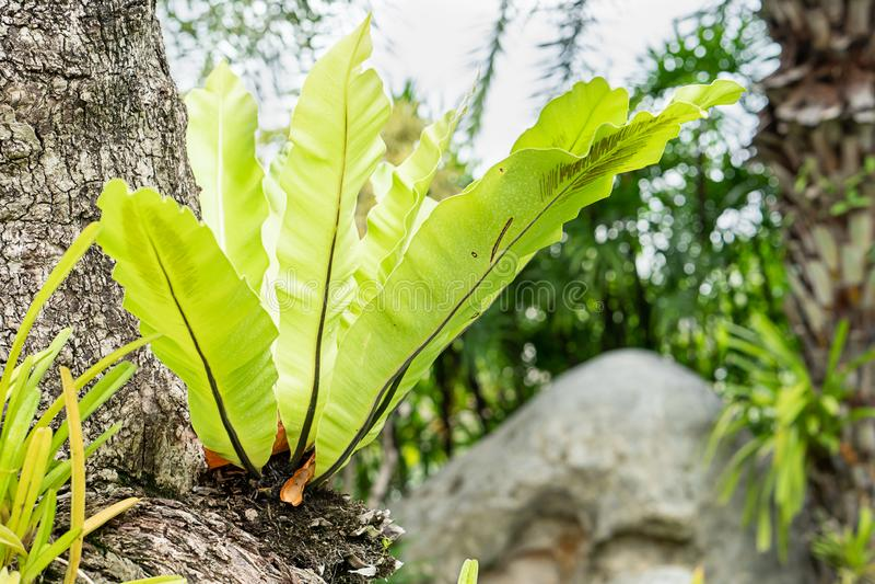 Groene het nestvaren van de bladvogel royalty-vrije stock afbeeldingen