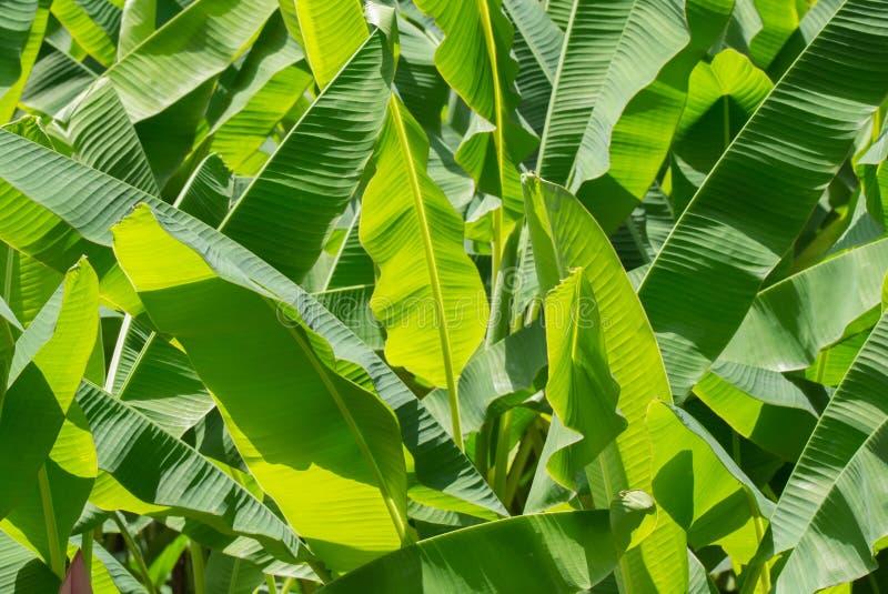 Groene het patroon van het banaanblad stock foto