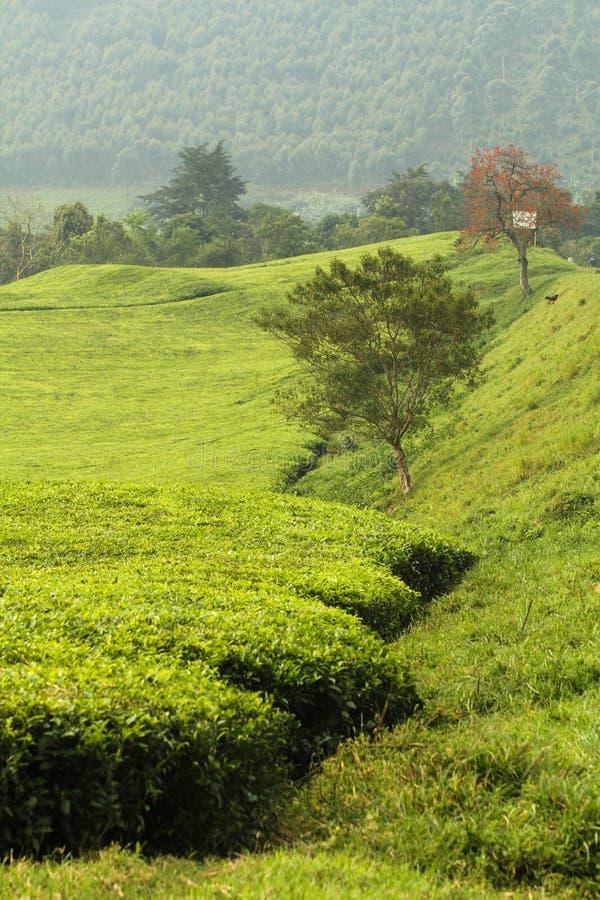 Groene heuvels in Oeganda stock foto