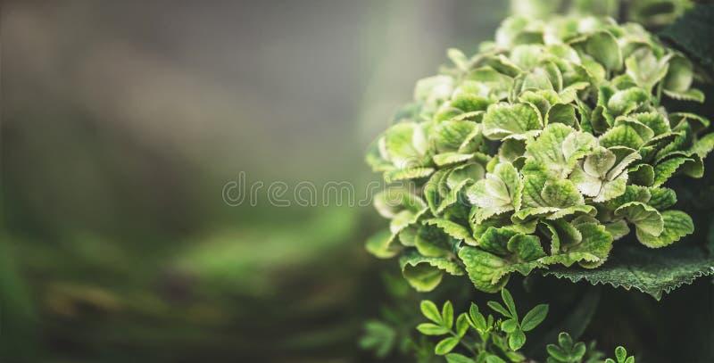 Groene hydrangea hortensia die, bloemenaardachtergrond, openlucht bloeit royalty-vrije stock foto's