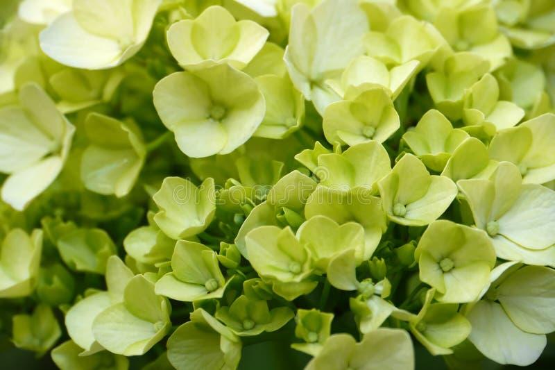 Groene Hydrangea hortensia's royalty-vrije stock foto's