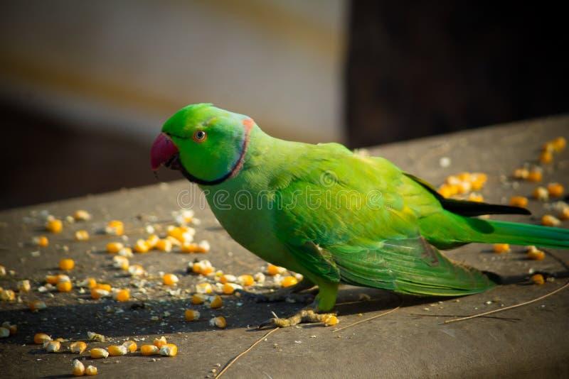 Groene Indische Ringneck-Parkiet, Kleurrijke Papegaai die graanplak, Phuket-Vogelpark eten stock foto's