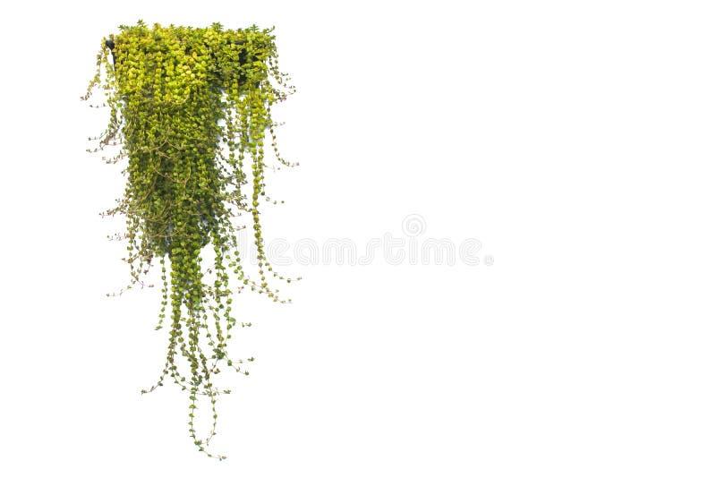 Groene ingemaakte die installatie in de pot op wit wordt geïsoleerd stock afbeelding
