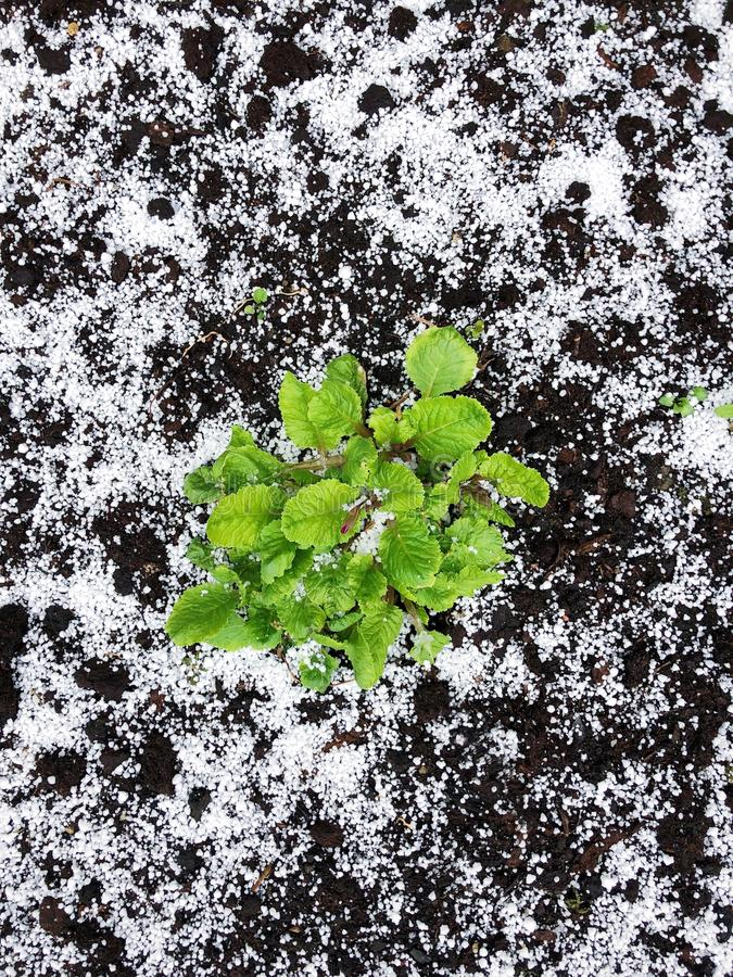Groene installatie in de grond en de sneeuw stock fotografie