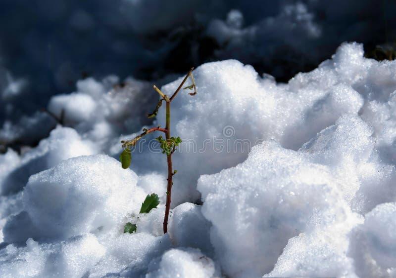 Groene installatie in de sneeuw royalty-vrije stock fotografie
