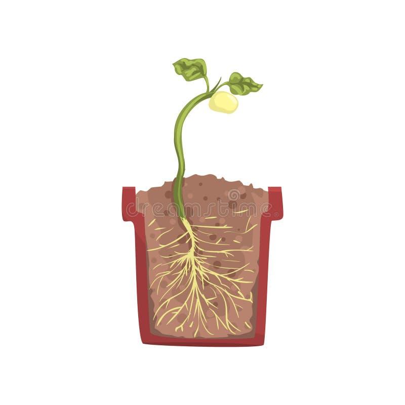 Groene installatie het groeien van zaad van een boon in een pot met grondgrond, stadium van de groei, pot in een dwarsdoorsnedeve vector illustratie