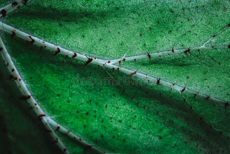 Groene installatietextuur, Begoniablad, macroschot Aardachtergrond, de lenteconcept royalty-vrije stock afbeeldingen