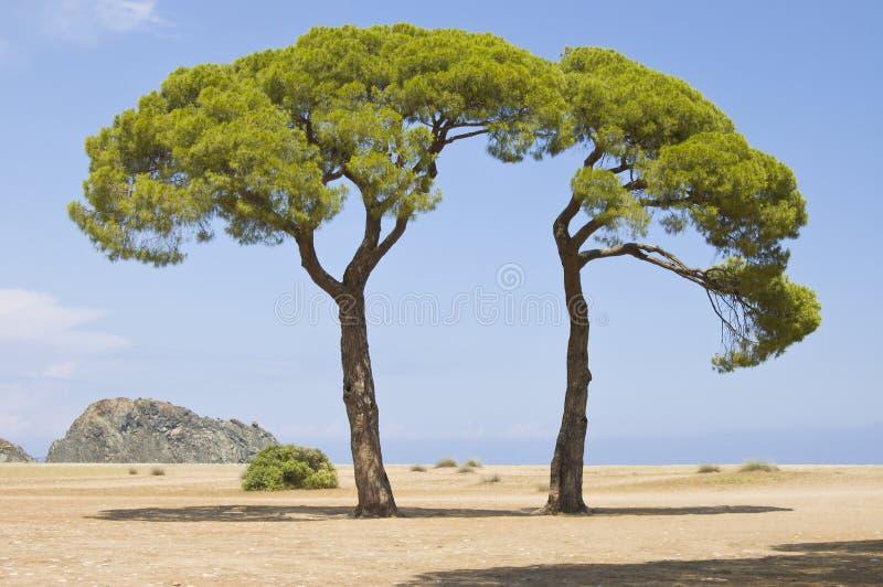 Groene Italiaanse pijnbomen royalty-vrije stock foto