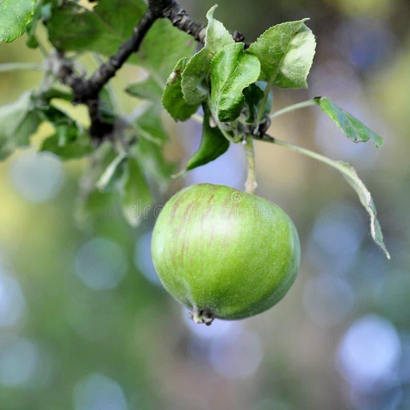 Groene jonge appel op vage achtergrond stock afbeeldingen