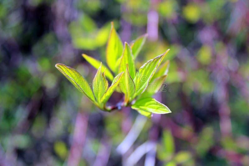 Groene jonge bladeren, boomknop, heldere achtergrond op een Zonnige dag stock foto