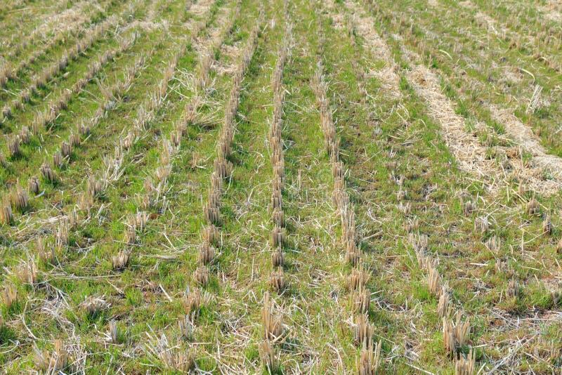 Groene jonge plantenspruit op padieveldgebied stock afbeeldingen
