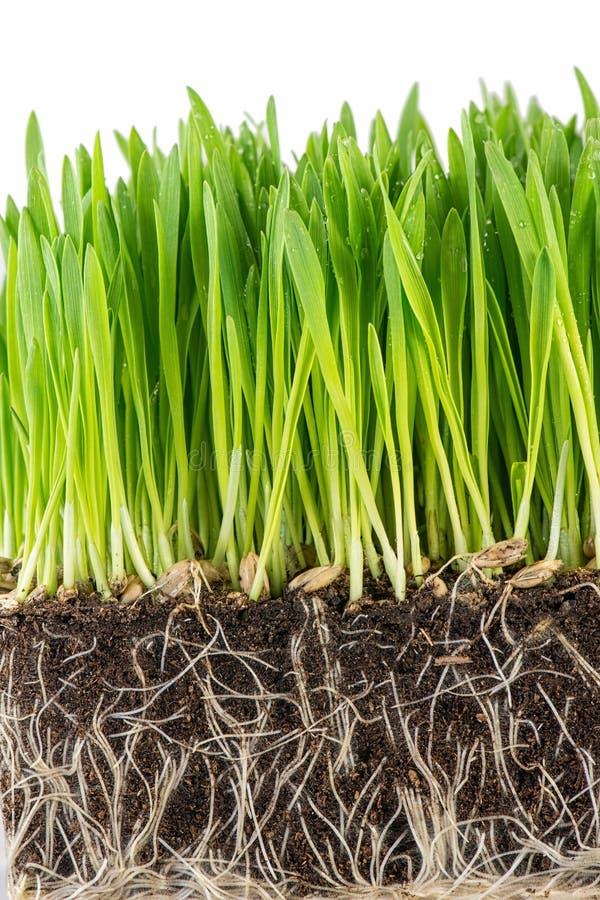 Download Groene jonge tarwespruit stock afbeelding. Afbeelding bestaande uit voedsel - 39104319