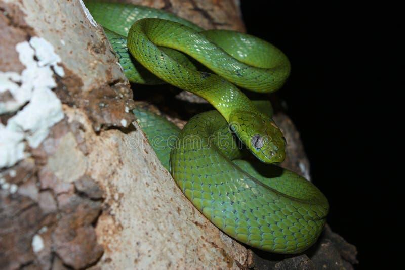 Groene kat-eyed slang stock afbeelding