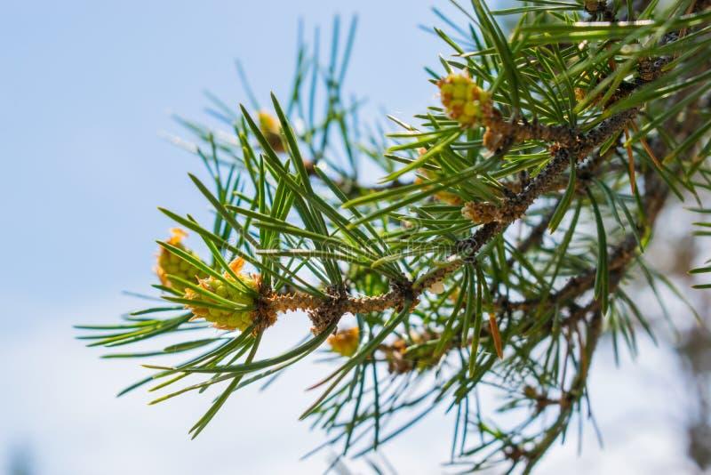 Groene kegels Buil op een boom in de aard E stock afbeelding