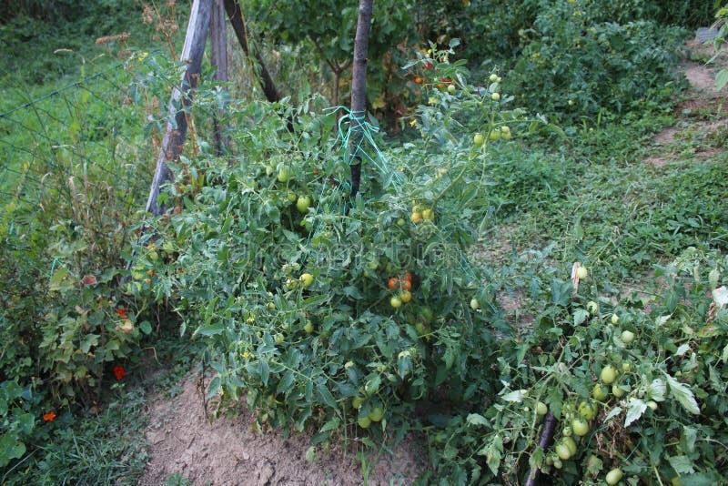 Groene kersentomaten in mijn organische tuin stock foto's