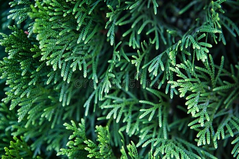 Groene Kerstmisbladeren van Thuja-bomenachtergrond stock fotografie