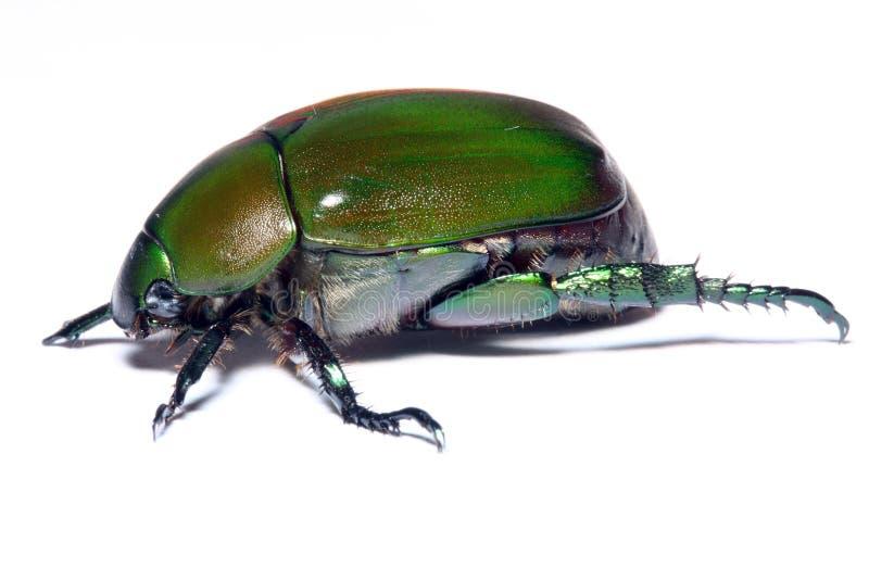 Groene Kever stock foto