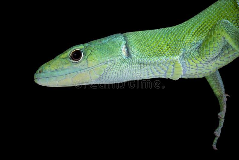 Groene kiel-Doen zwellen Hagedis (Gastropholis-prasina) stock foto