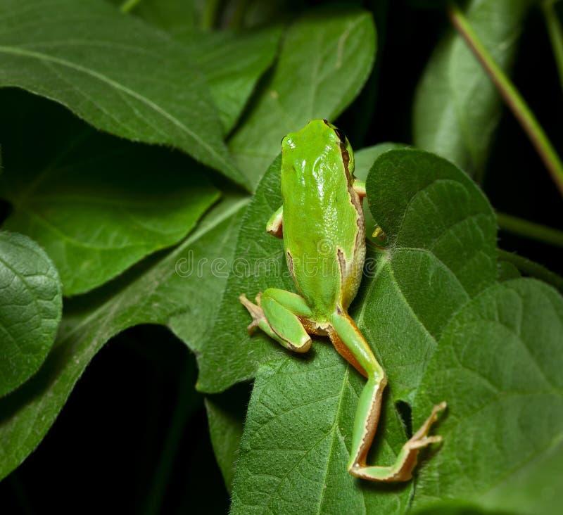 Groene kikker die op boom beklimt royalty-vrije stock foto