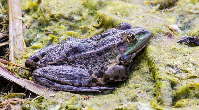 Groene kikker in het moeras stock afbeeldingen