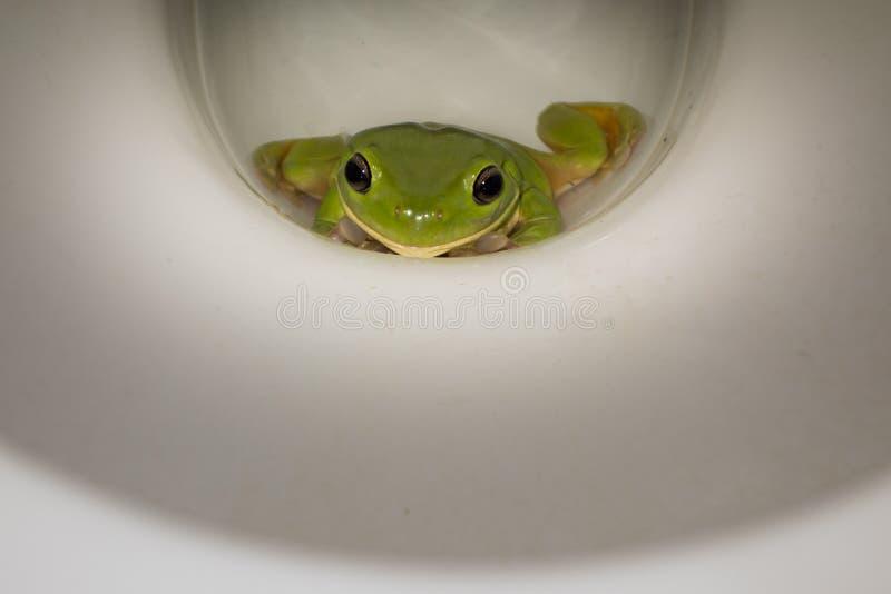 Groene kikker in het toilet stock foto