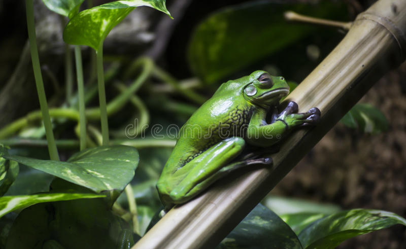 Groene kikker op een blad royalty-vrije stock foto's