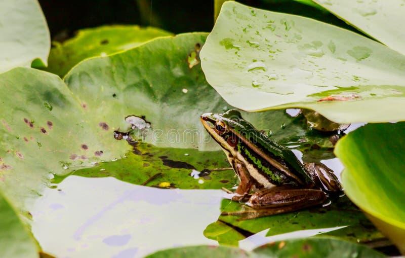 Groene kikker in vijver onder lotusbloemblad in ochtendlicht stock foto's