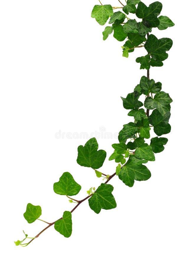 Groene klimop stock foto