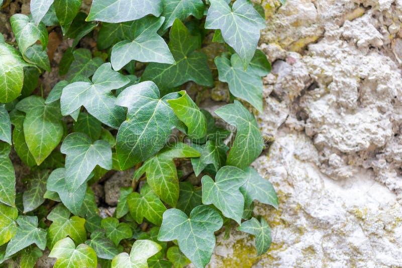 Groene klimop onder de ruwe grijze stenen van de oude muur stock foto's