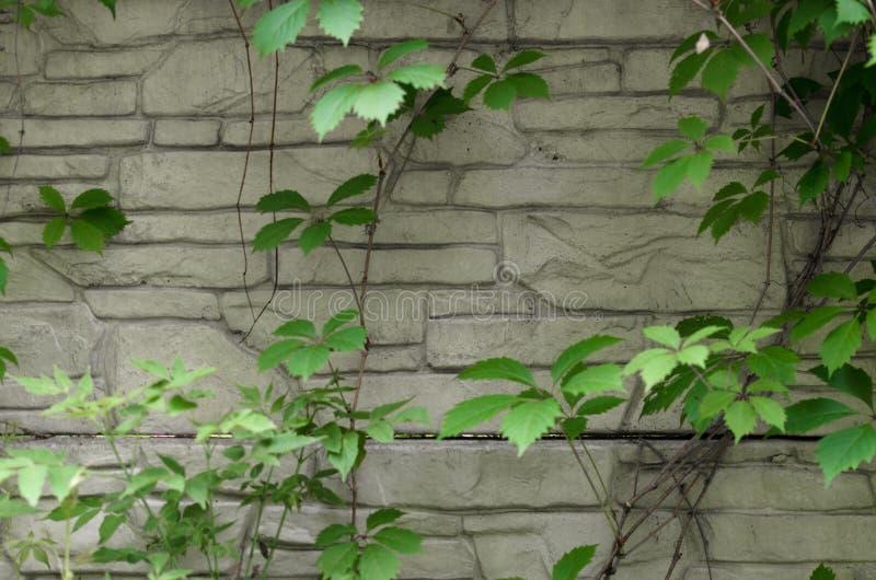 Groene klimop op de witte bakstenen muur royalty-vrije stock afbeeldingen