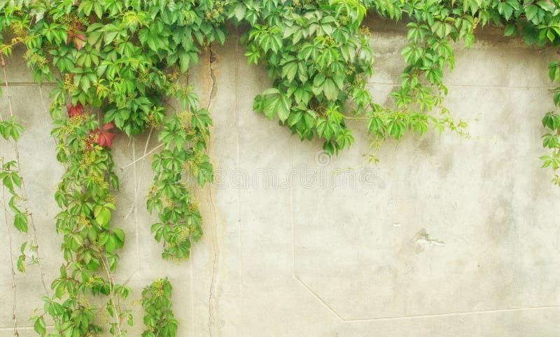 Groene Klimop op muur royalty-vrije stock foto's