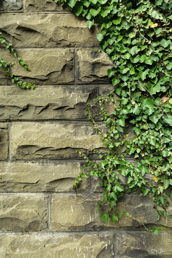 Groene klimop op oude steenmuur royalty-vrije stock fotografie