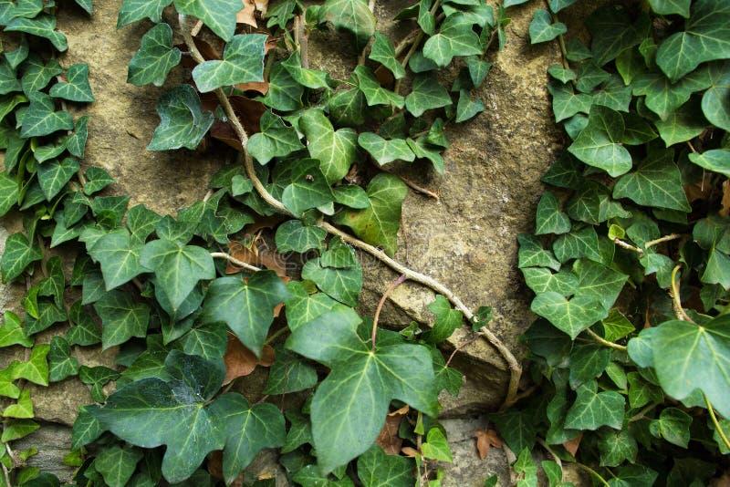 Groene klimop op oude steenmuur stock fotografie