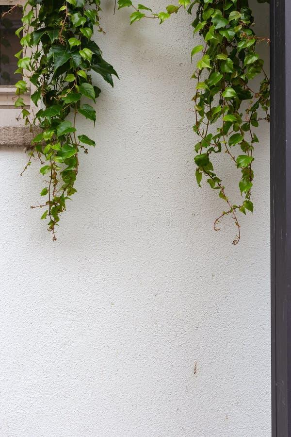 Groene klimop op witte muur stock foto
