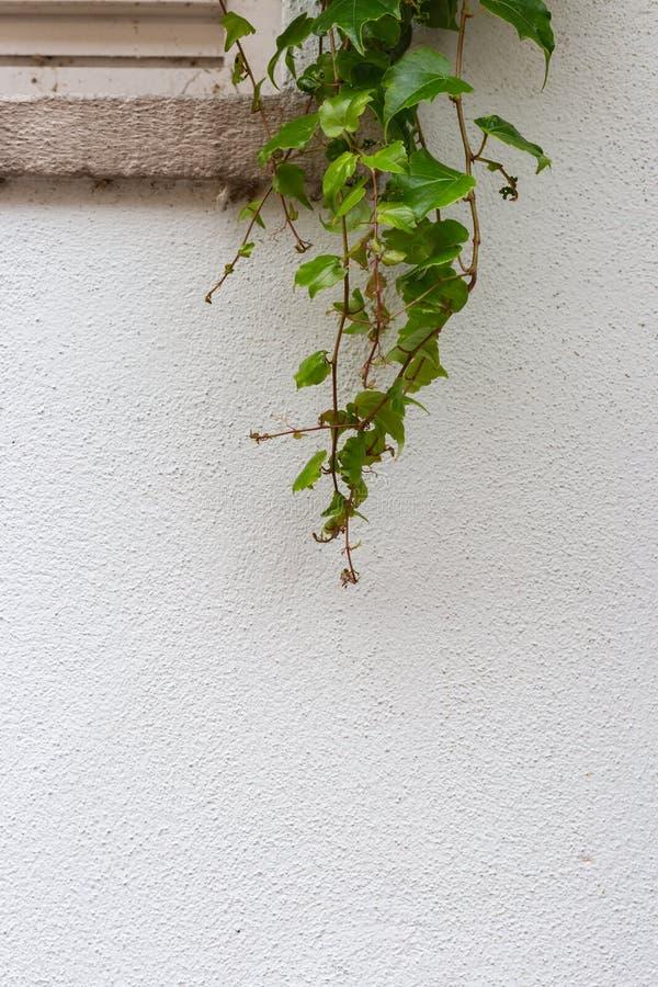 Groene klimop op witte muur stock afbeeldingen
