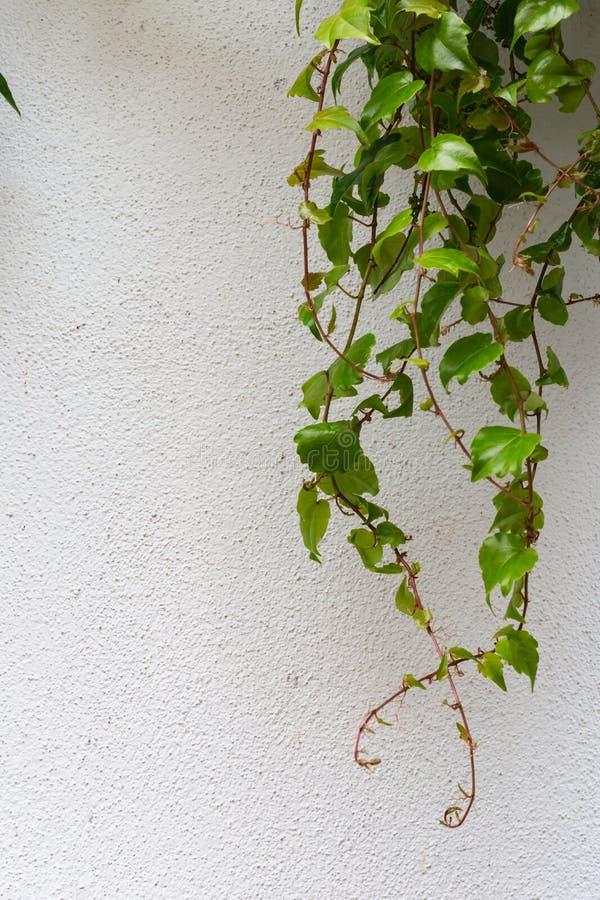 Groene klimop op witte muur stock afbeelding