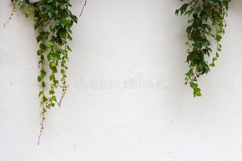 Groene klimop op witte muur royalty-vrije stock afbeelding