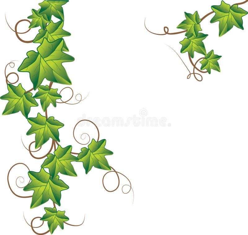 Groene klimop. Vector Illustratie stock afbeeldingen