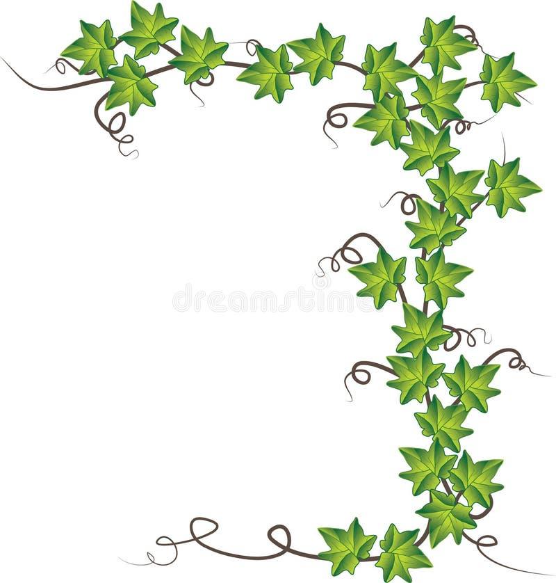 Groene klimop. Vector illustratie royalty-vrije stock fotografie