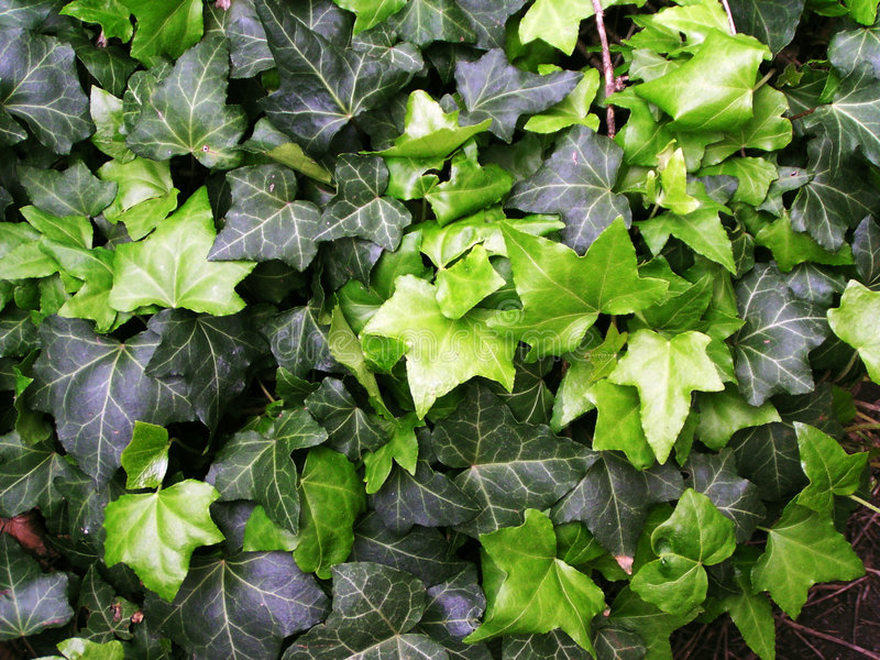 Groene klimopachtergrond stock fotografie