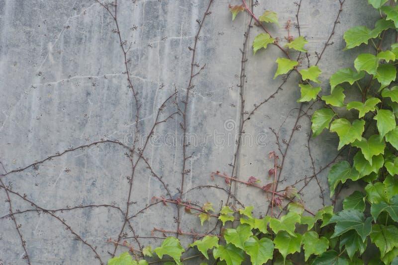 Groene klimopbladeren op grijze muurachtergrond stock foto's