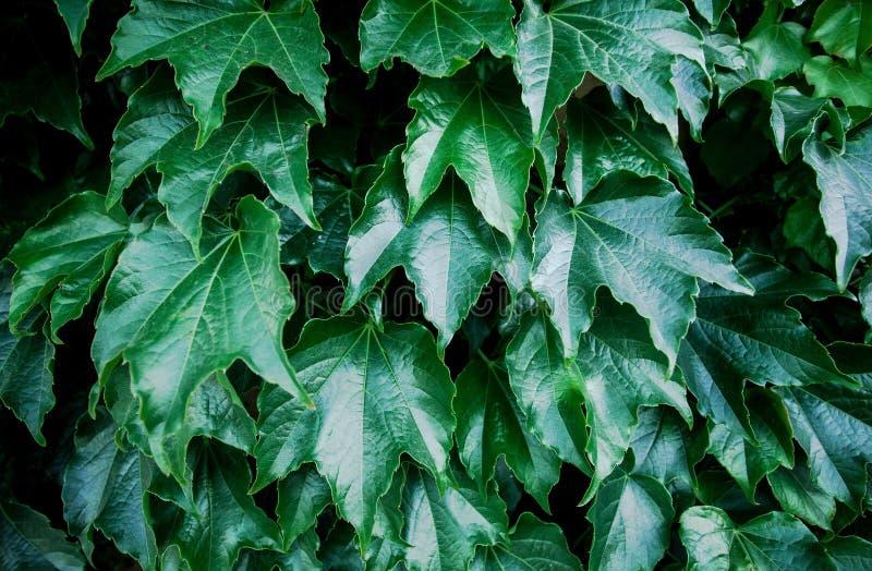 Groene klimopbladeren op muur stock foto