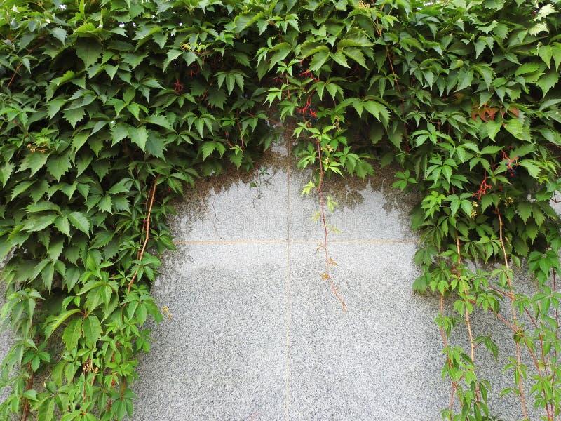 Groene klimplant op grijze muur, Litouwen stock afbeelding
