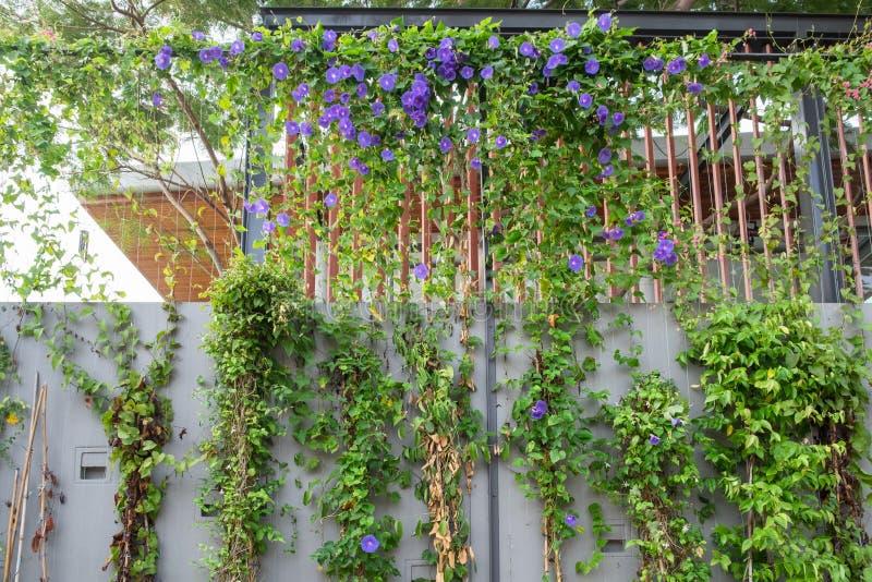 Groene klimplant purpere bloem op muur stock fotografie