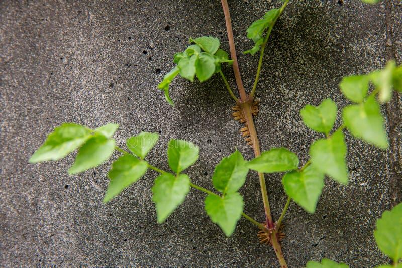 Groene klimplantinstallatie op muur Klimop op een witte cementmuur Groene Klimplant op witte muur stock foto