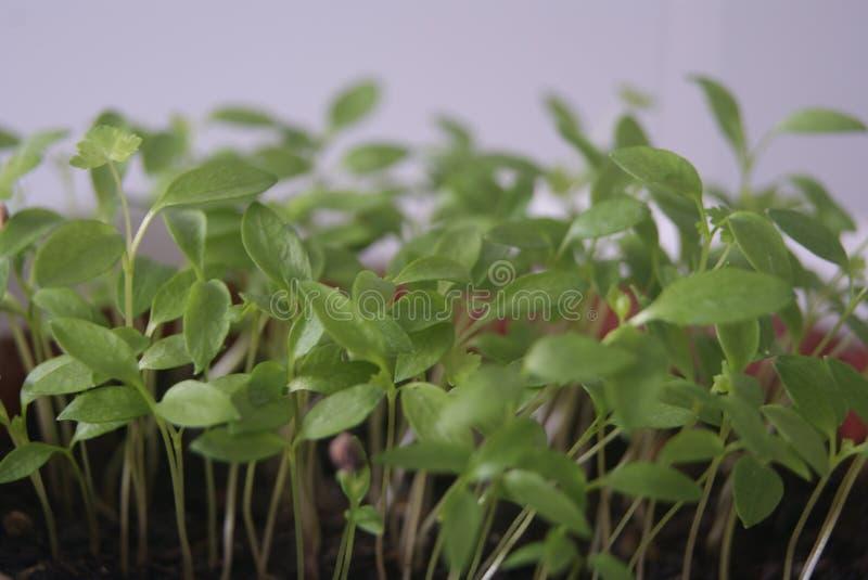 Groene knoppen en zaden van installaties stock afbeeldingen
