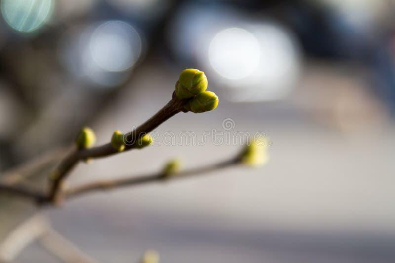 Groene knoppen op takken in de lente Aard en het bloeien in de lentetijd stock afbeeldingen